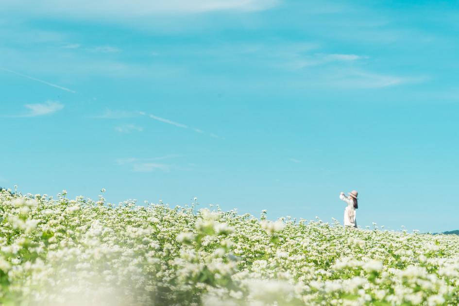 제주도 사진명소 보롬왓 메밀꽃 밭