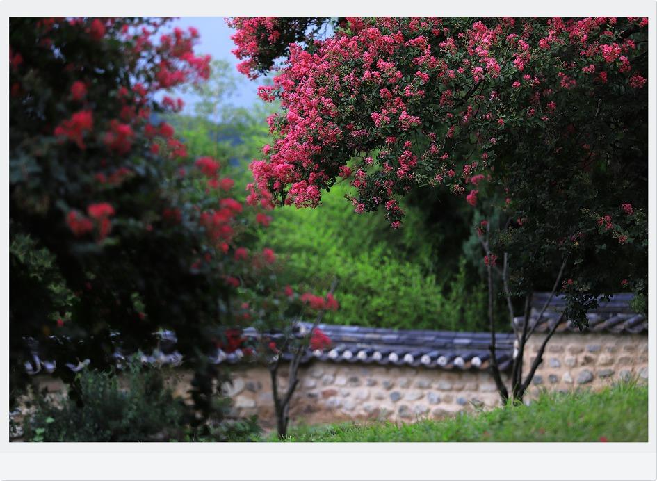 하목정배롱나무